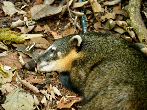 Coatis, the adorable raccoon like animals that roam amidst the falls